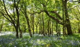 Bonny bluebell wood.