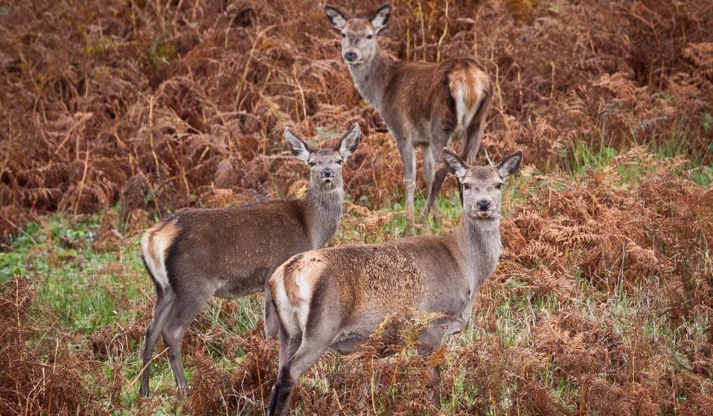 Isle of Mull Deer